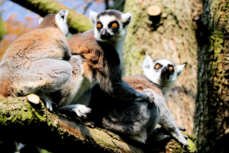 ring tailed: ring tailed lemurs in a tree