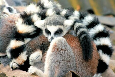 ring tailed: ring tailed lemurs taking a nap together
