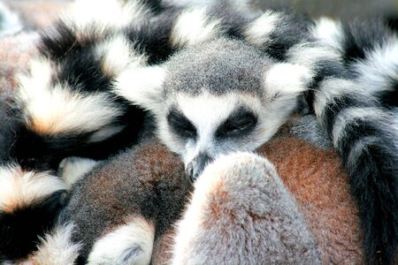 tailed: group of ring tailed lemurs taking a nap Stock Photo