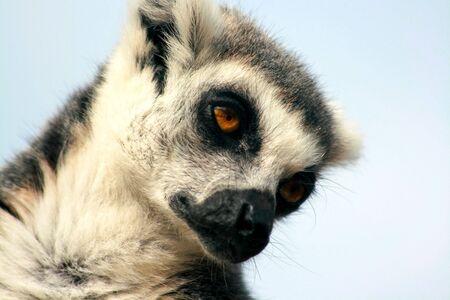 zoo animal: ring tailed lemur taking a nap