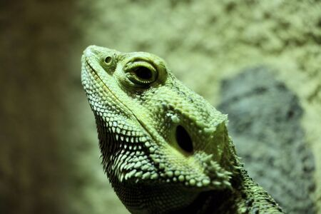 reptile: head of reptile Stock Photo