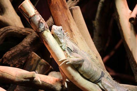 reptile: reptile in tree Stock Photo