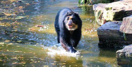oso negro: oso negro en el agua