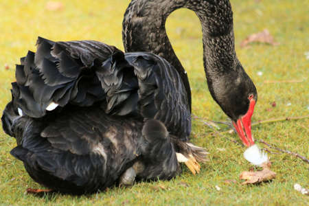 emigrant: Black Swan