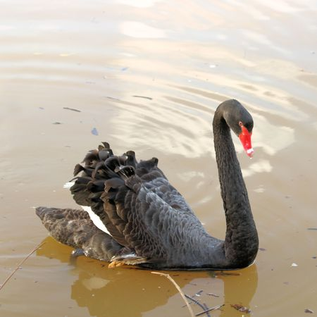 emigrant: Black swan in the water Stock Photo
