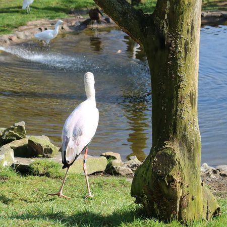 african stork: African stork near pond