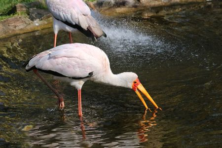 african stork: African stork in pounds Stock Photo