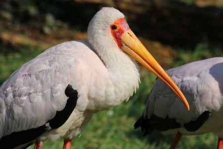 african stork: African stork