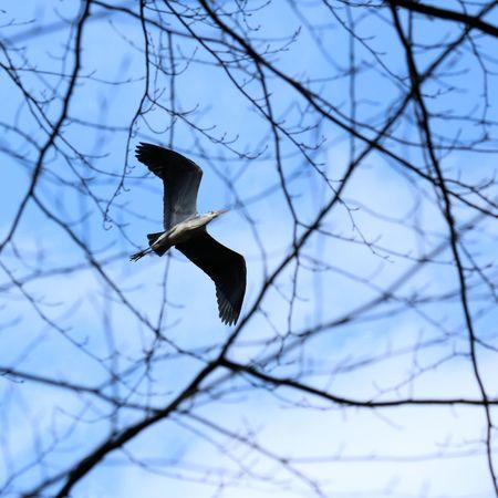 blue heron: blue heron flying Stock Photo