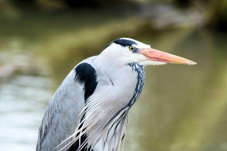 blue heron: Head of blue heron