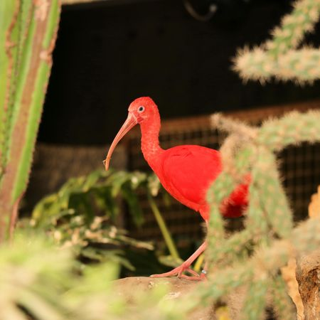emigrant: red ibis