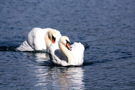 emigrant: couple of swans Stock Photo