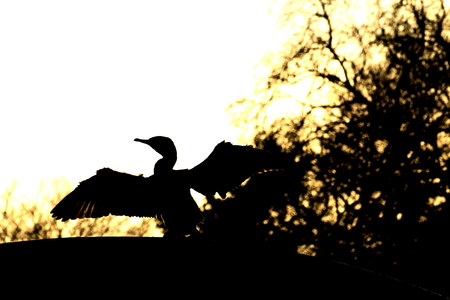 cormorant: Great cormorant at sundown Stock Photo