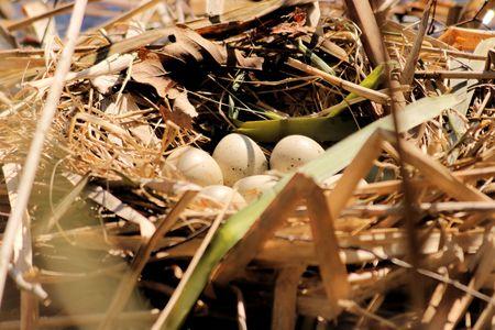 moorhen: moorhen eggs in nest