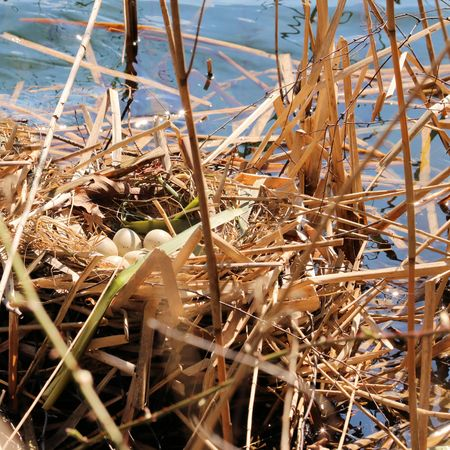 emigrant: moorhen or eggs in nest