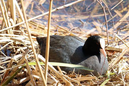 moorhen: moorhen on its nest