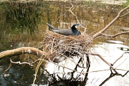 emigrant: great cormorant on its nest