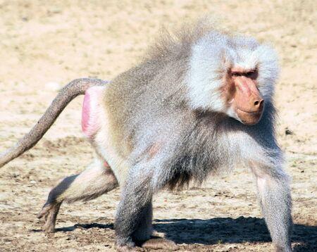 baboon: male baboon