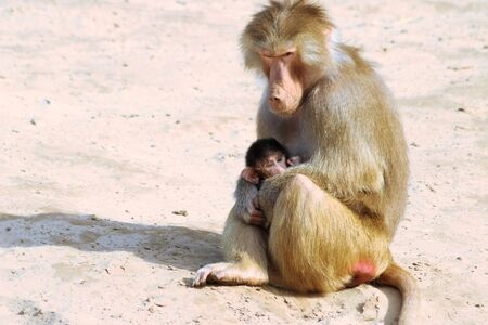 baboon: mother and baby baboon Stock Photo