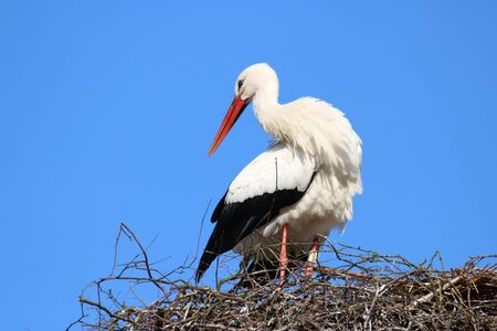 emigrant: Stork on its nest Stock Photo