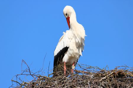 aquatic bird: Stork on its nest Stock Photo