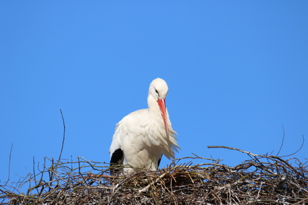 emigrant: stork on his nest