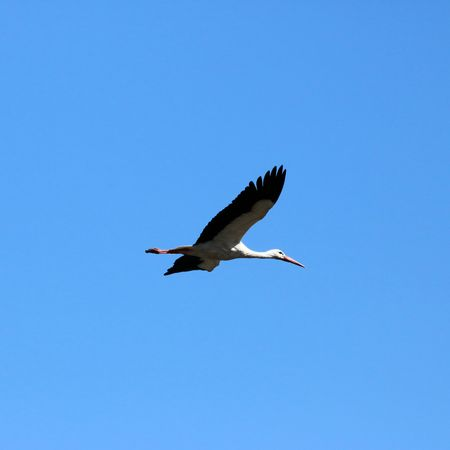 emigrant: flying stork Stock Photo