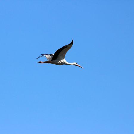 aquatic bird: flying stork Stock Photo