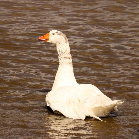 aquatic bird: goose on pond