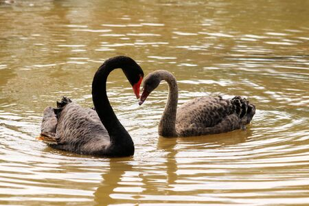 emigrant: Black swans in love