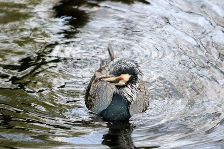 great: great cormorant Stock Photo