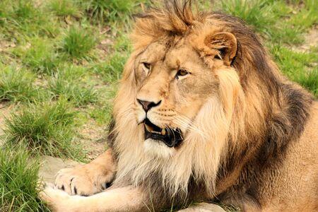 male lion: male lion