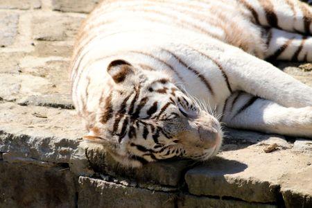 tigre blanc: tigre blanc