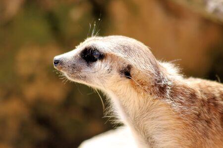 Slender-tailed meerkat Stock Photo