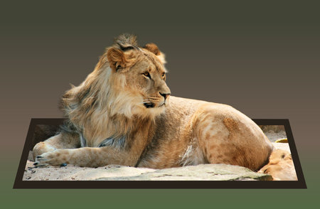 bounds: Lion in out of bounds effect Stock Photo