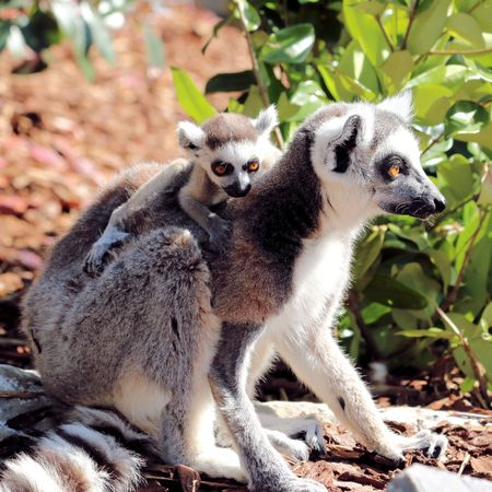 ring tailed lemur with baby
