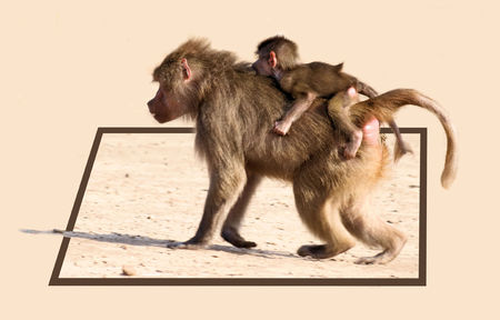 bounds: baboon with baby out of bounds effect Stock Photo