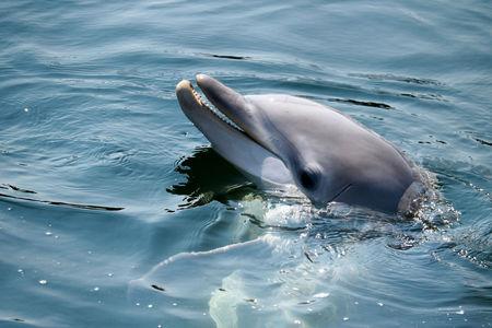 bottlenose: dolphin Stock Photo