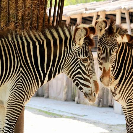 lovely zebras 版權商用圖片