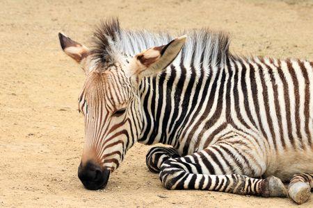 Head of young zebra