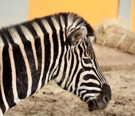 savannas: Head of zebra