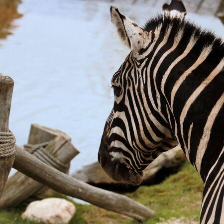 lovely zebra 版權商用圖片