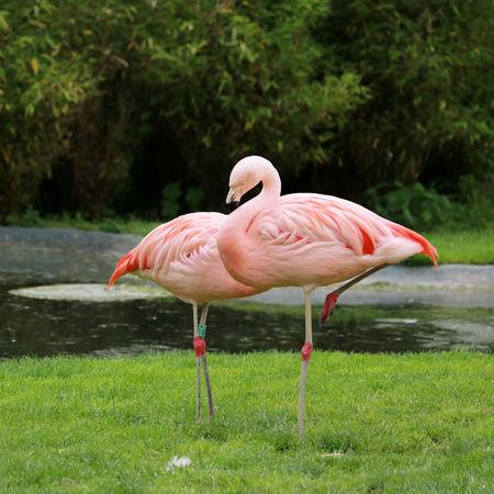 pink flamingoes Фото со стока