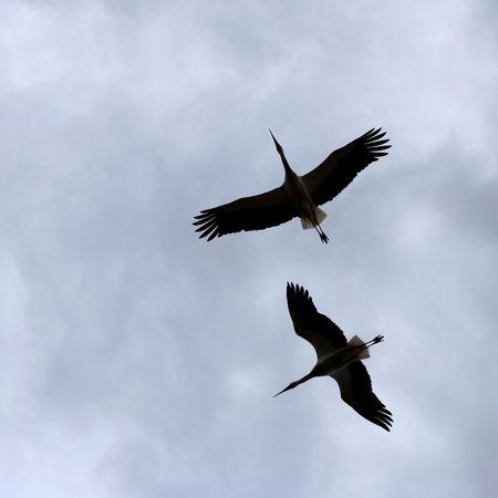 Flying storks Foto de archivo