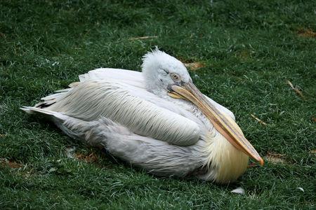 lovely pelican Фото со стока - 95305226