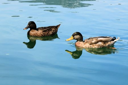 duck swimming in clear blue water Stock Photo