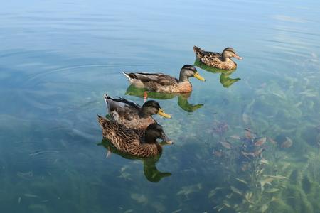 Ducks on Bacina lakes in Croatia