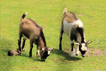 rabit: Rabit and goats in the grass Stock Photo