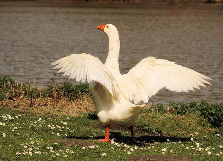 wading: white goose
