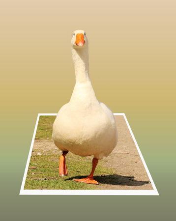 bounds: Goose in out of bounds effect Stock Photo